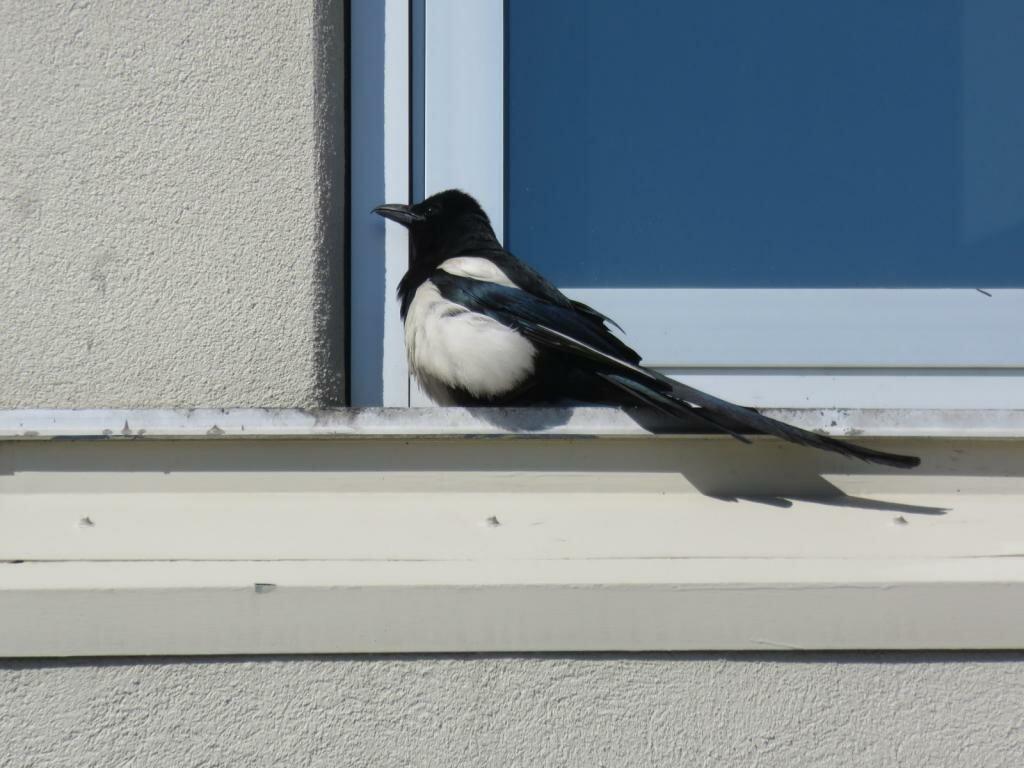 Голубь залетел в окно: примета. к чему белый, коричневый, черный голубь залетел в квартиру, дом, на балкон, подоконник, стучится в окно, ударился в окно и улетел?