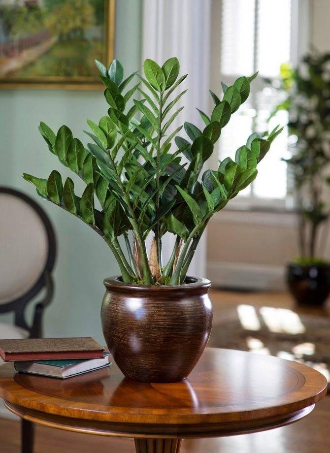 Замиокулькас: приметы и суеверия о цветке в доме
