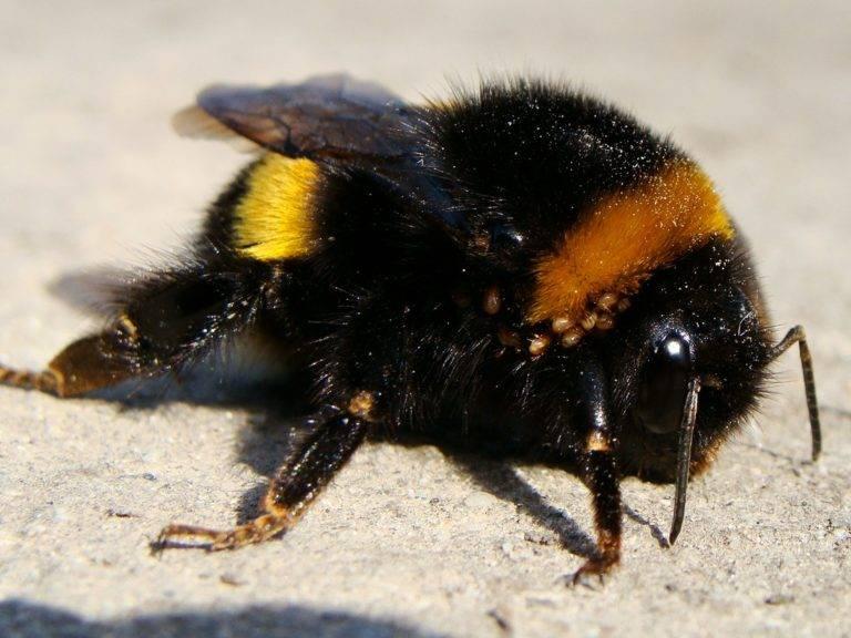 Приметы о пчеле, шмеле и осах