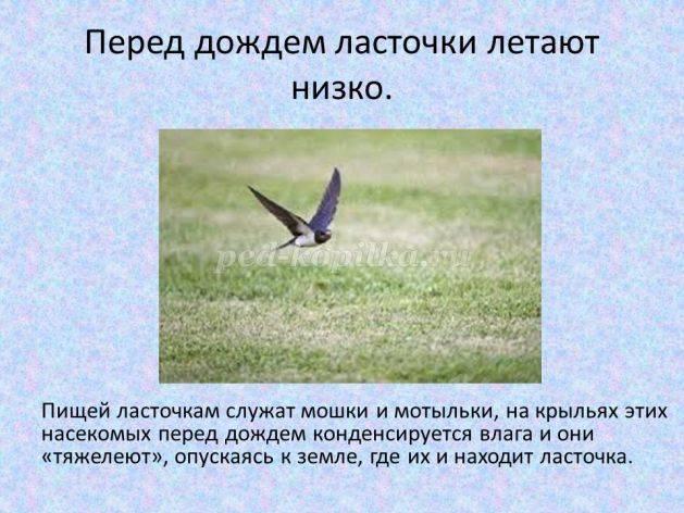 К чему ласточки летают высоко или низко