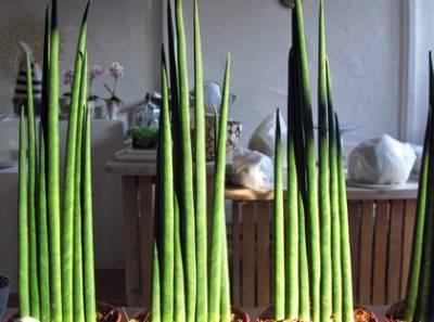 Щучка дернистая: описание, посадка, применение растения