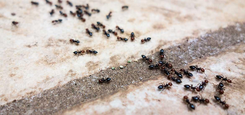 К чему в доме муравьи появились