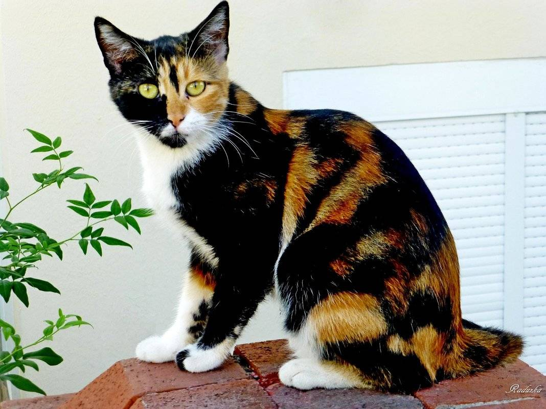 Трехцветная кошка в доме