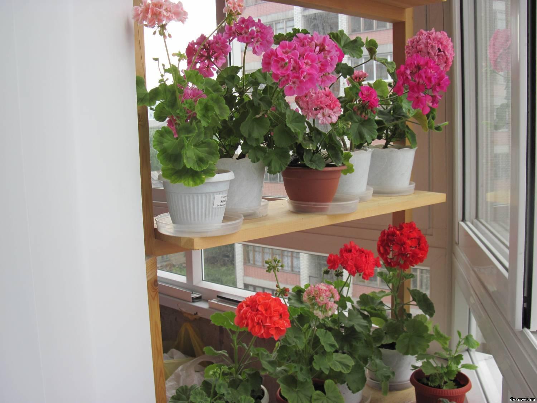 Герань - приметы и суеверия про этот цветок
