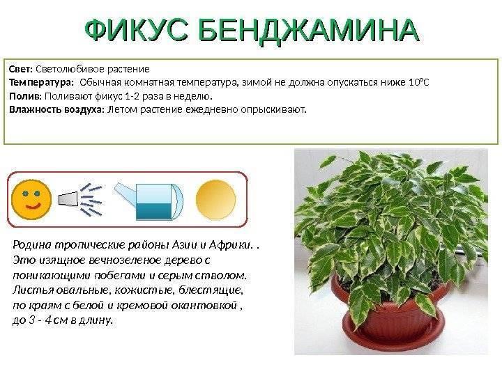 Приметы про цветок традесканция рео. для цветоводов. уход в домашних условиях и приметы здоровья