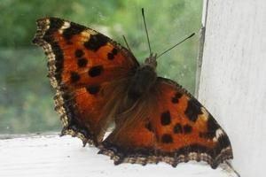 Бабочка залетела в квартиру — примета и ее толкование по разным видам