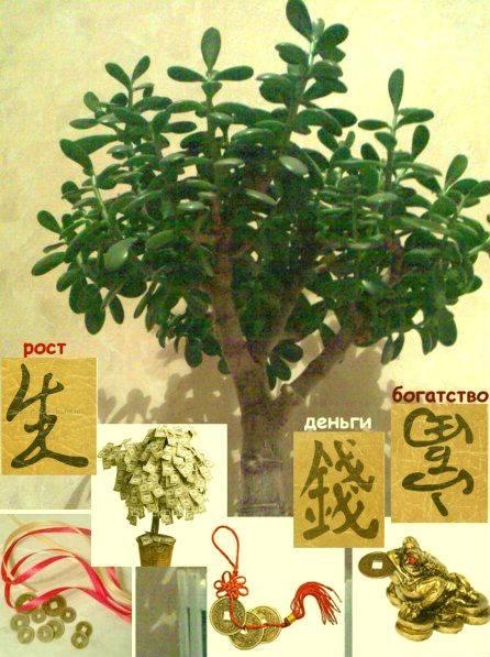 Как правильно посадить денежное дерево для привлечения денег