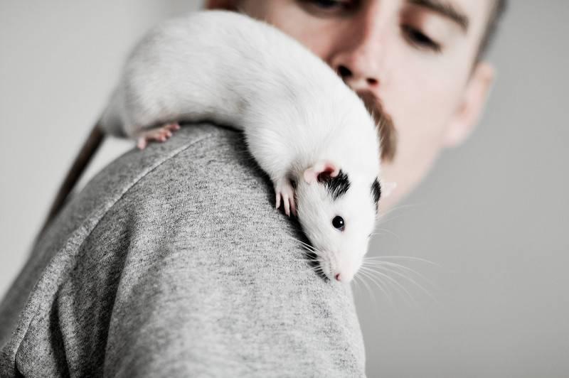 К чему снится крысы. видеть во сне крысы - сонник дома солнца