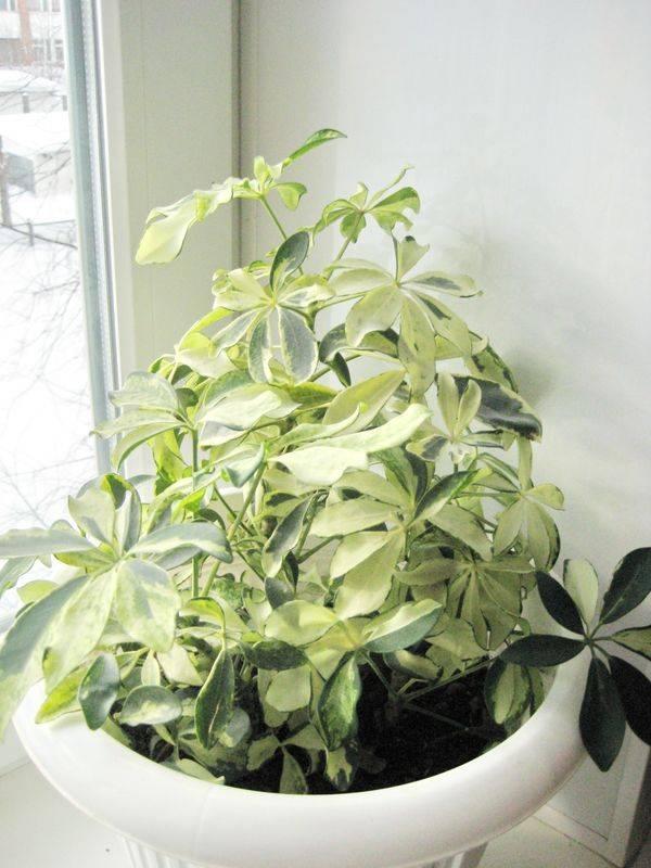 Шефлера в доме: приметы и суеверия о растении, можно ли держать и где лучше ставить в доме цветок, как с помощью него привлечь богатство.