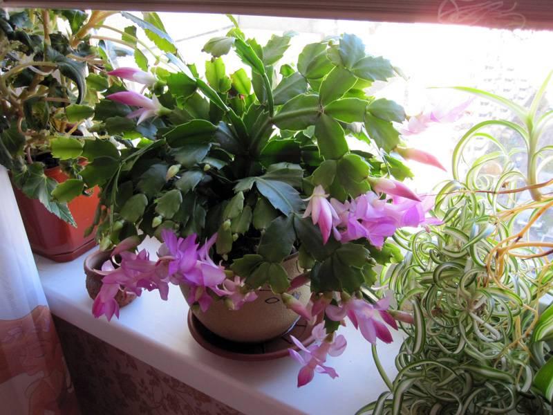 Декабрист — можно ли держать цветок дома?