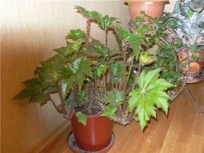 Бегония: приметы и суеверия про необычное тропическое растение | мир магии