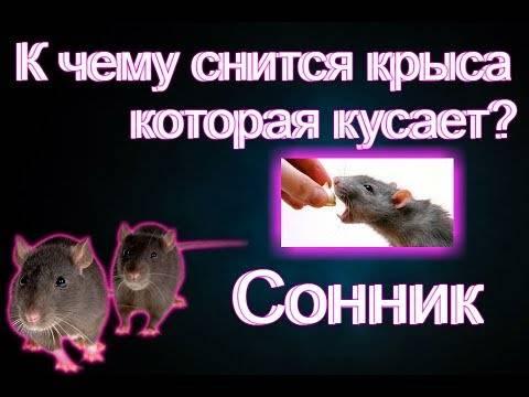 К чему снится крысы?