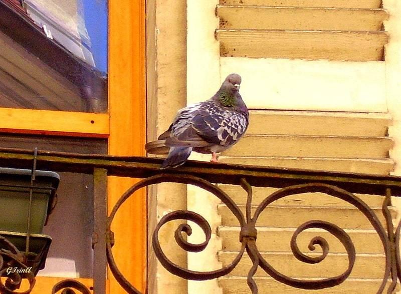 Голубь залетел в окно квартиры или в дом – приметы и значение