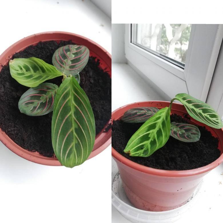 Марантовые комнатные растения: разновидности и уход