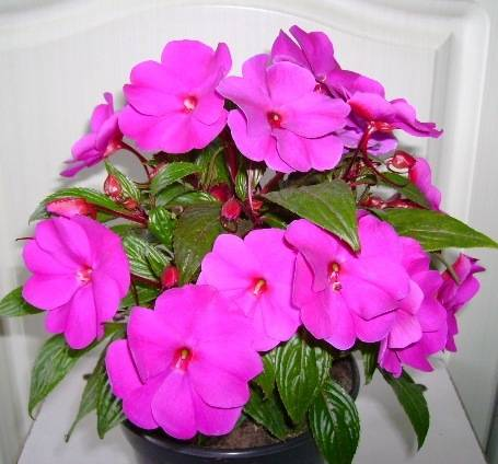 Ванька мокрый цветок - уход в домашних условиях, болезни и почему опадают листы