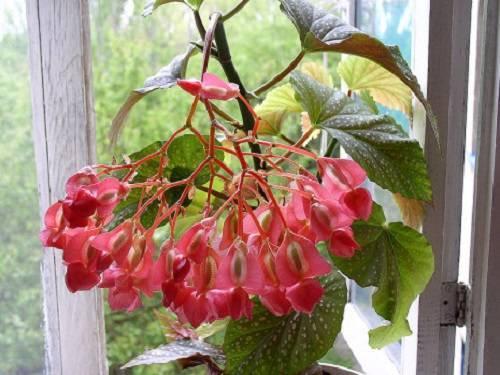 Бегония в доме – приметы и суеверия. Хорошо или плохо выращивать цветок?