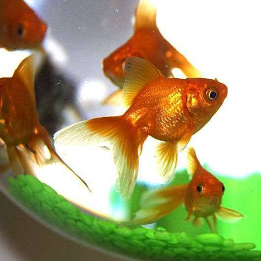 Рыбки по Фен шуй (панно) – значение и использование