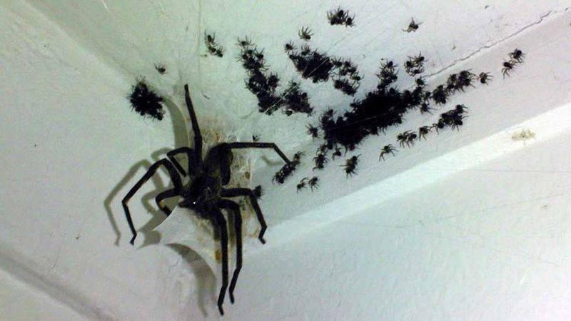 Мохнатые пауки в доме