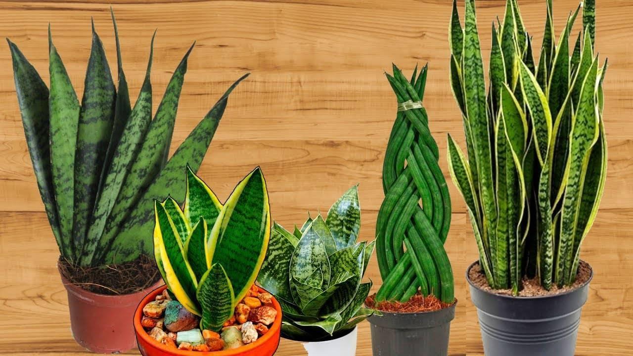 Домашнее растение щучий хвост: виды цветка, условия содержания, уход и применение