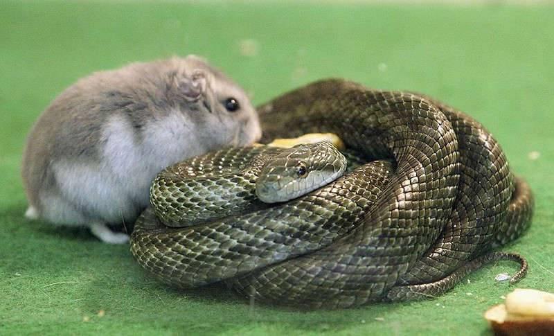 Совместимость крысы и змеи по гороскопу