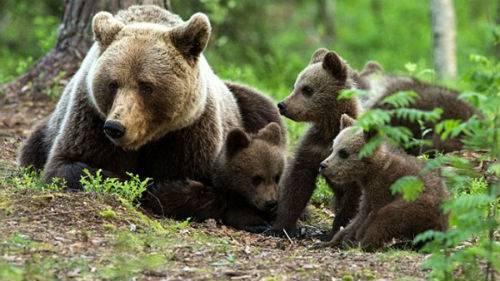 Сонник Медведица с медвежонком 😴, к чему снится Медведица с медвежонком женщине 💤, что означает увидеть Медведицу с медвежонком во сне