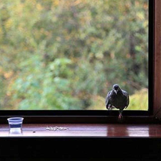 Голубь сел на подоконник за окном: приметы, к чему прилетает