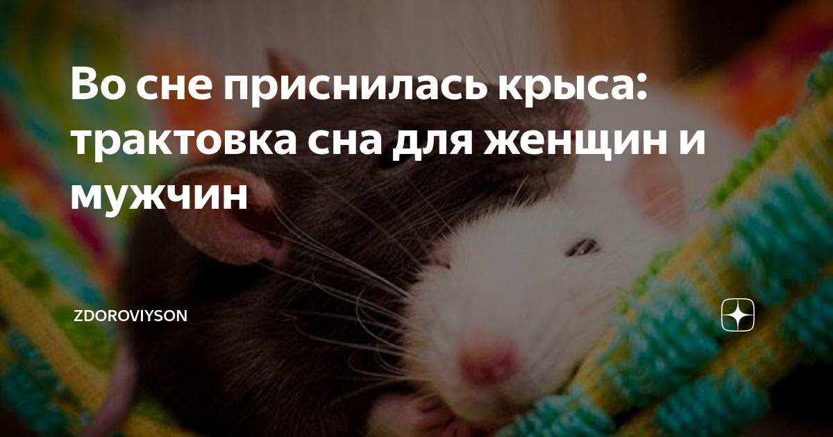 Сонник крыса. к чему снится крыса во сне женщине и мужчине