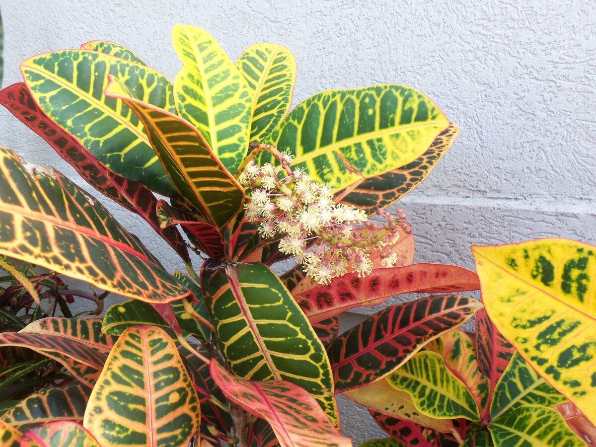 Приметы и суеверия о цветке кротон (кодиеум) | знать про все
