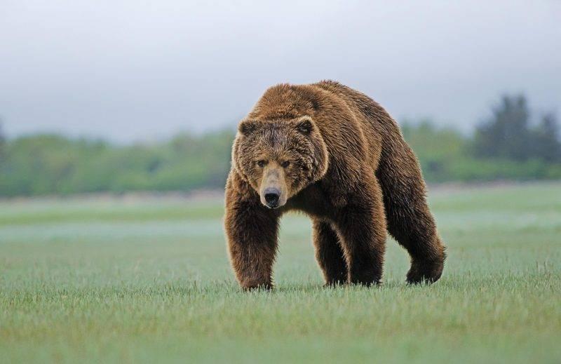 К чему снится мужчине медведь: белый, бурый, большой, с медвежатами, нападающий, в лесу, доме, цирке, охотится, убить, прятаться, трапезничать