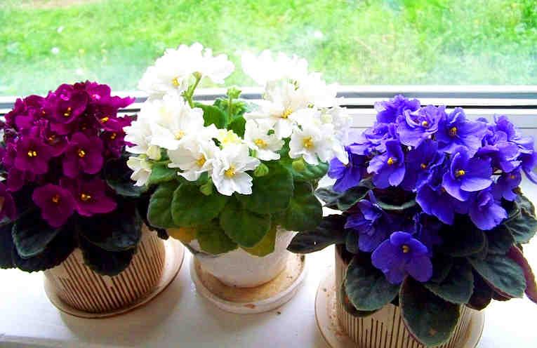 Фиалка в доме: приметы и суеверия о растении, значение цвета лепестков, польза фиалок и что означает, когда цветет.