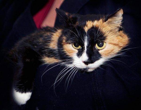 Можно ли держать трехцветную кошку в доме