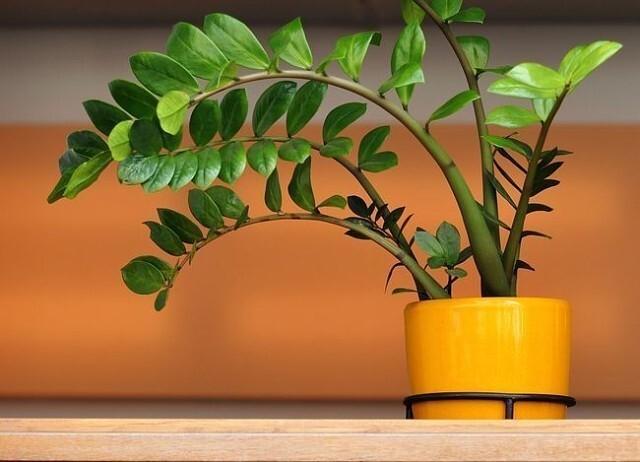 """Почему замиокулькас называется """"долларовое"""" дерево, приметы и суеверия: цветок - женское счастье."""