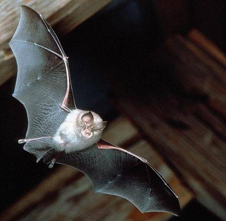 Приметы - летучая мышь залетела в дом, к чему это