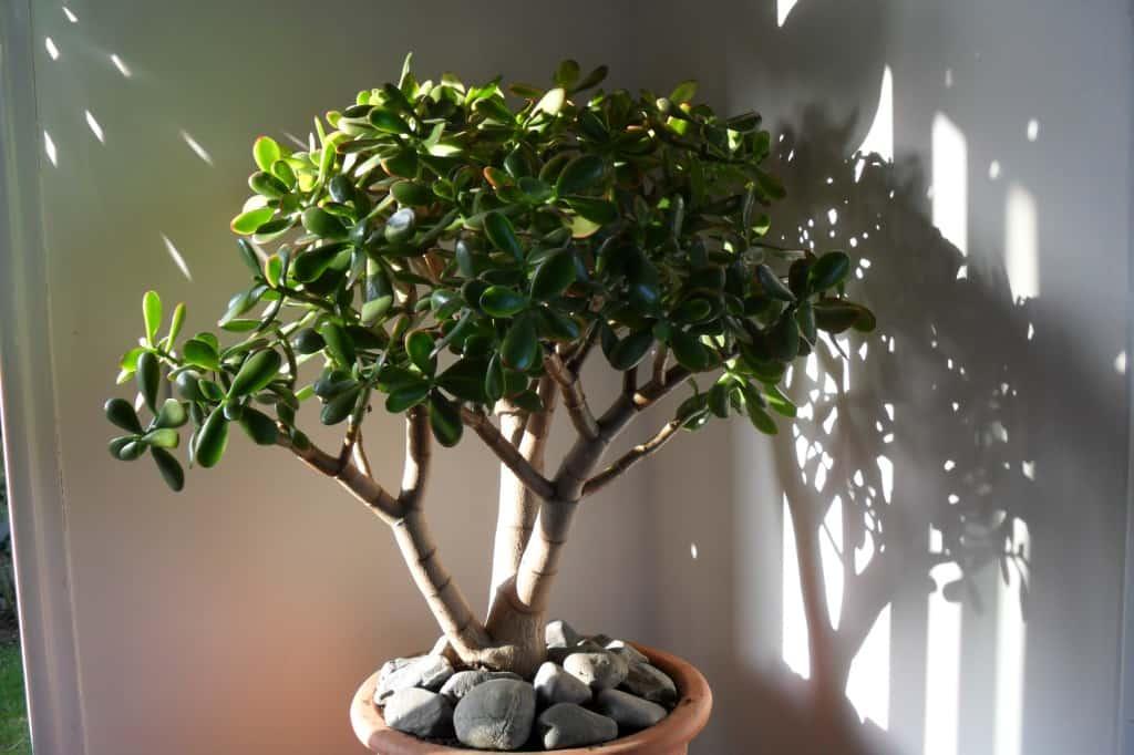Толстянка денежное дерево — уход, приметы и суеверия