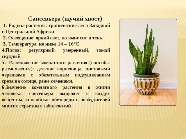 Цветок щучий хвост – вред или польза, приметы, уход