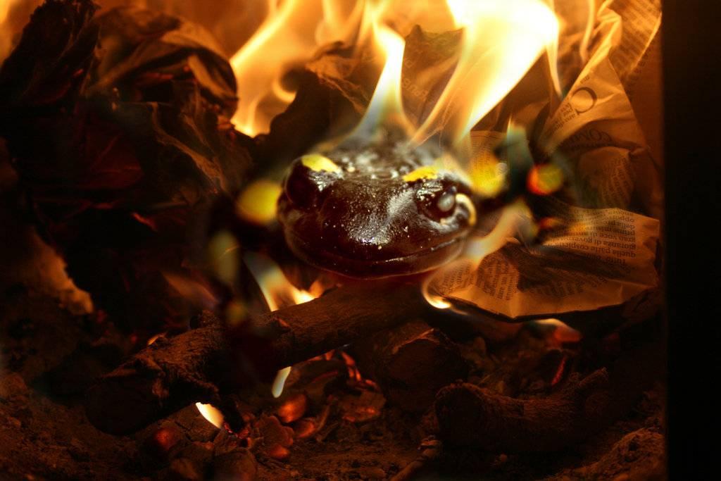 Испанская саламандра. огненная саламандра в мифах и в жизни.