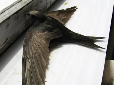 Народная примета - птица залетела в дом