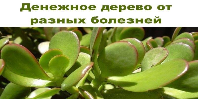 Денежное (живое) дерево: вред или польза, рецепты