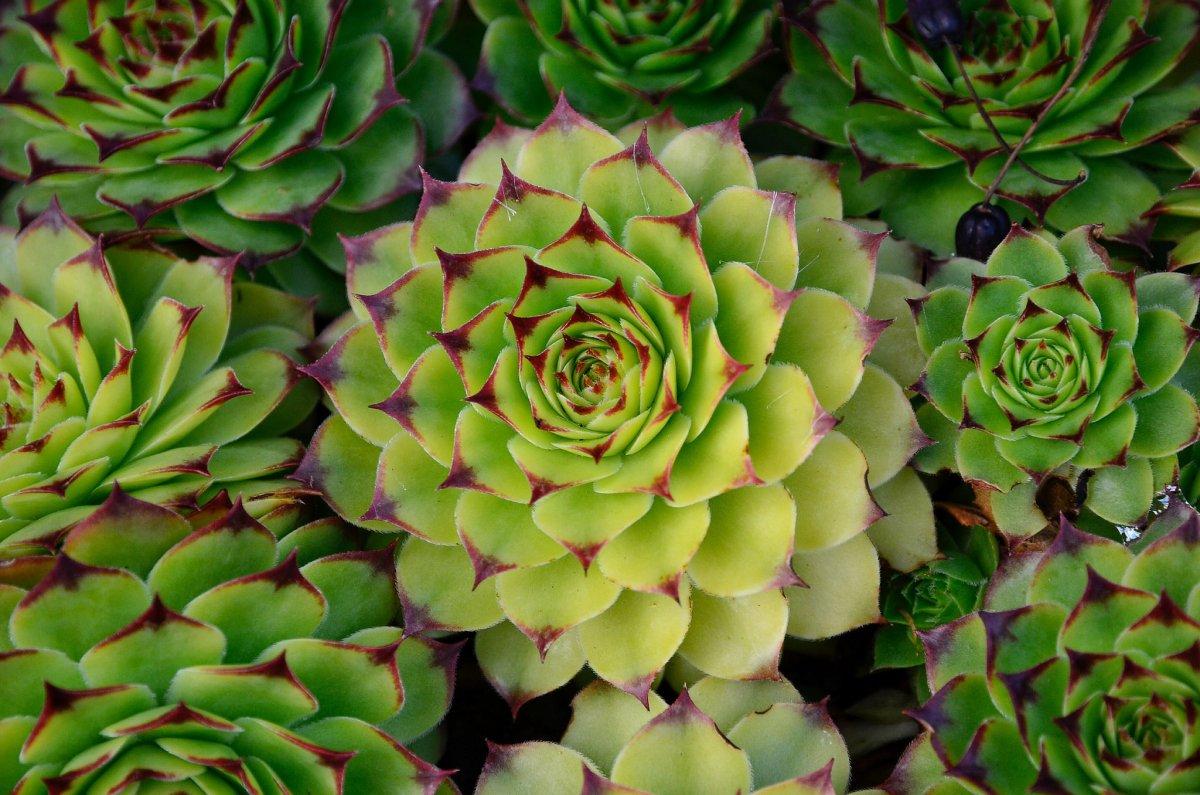 Каменная роза или молодило. уход, почва, размножение дома. | floplants. о комнатных растениях