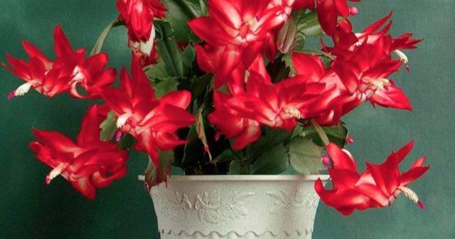 Цветок декабрист дома: приметы и суеверия