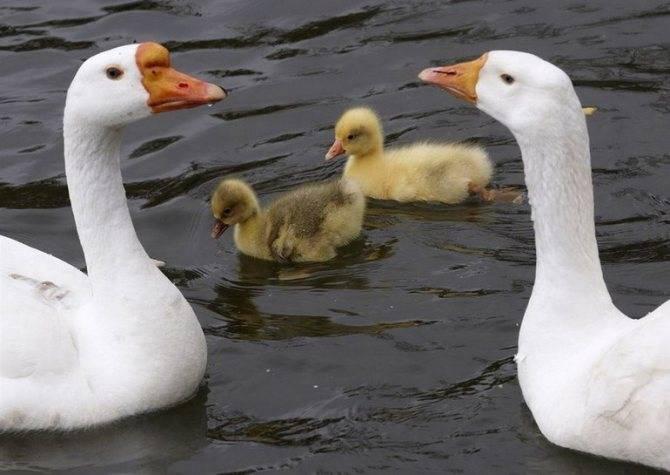 К чему снятся гуси для женщин: белые, серые, черные, дикие, домашние, с гусятами, в небе, на воде, щипают, кормить, поймать