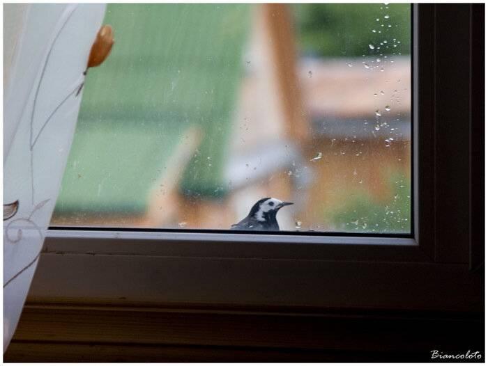 Синица в окно стучится: примета, к чему бьется в стекло, как нейтрализовать негатив
