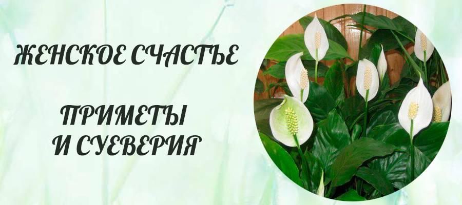 Женское счастье (цветок) - приметы для женщин