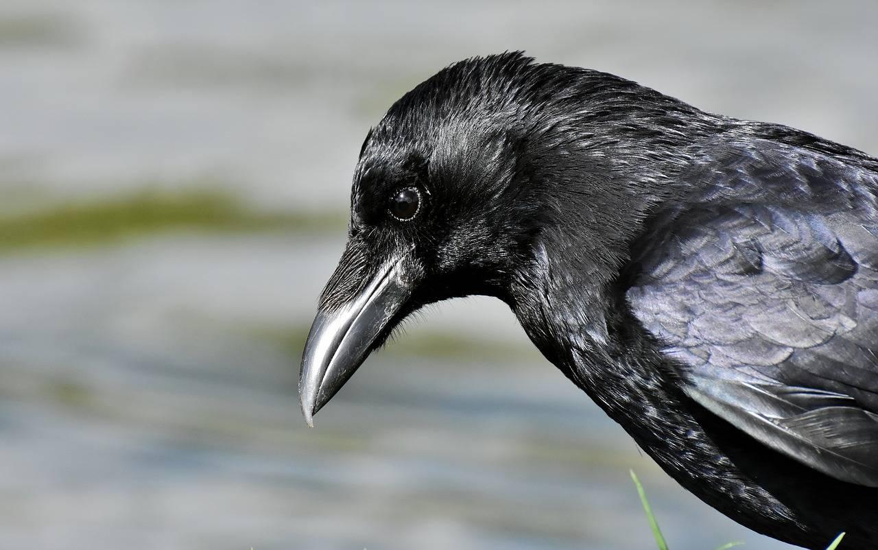 Приметы: голубь врезался в человека, коснулся крылом, задел голову, пролетел перед лицом