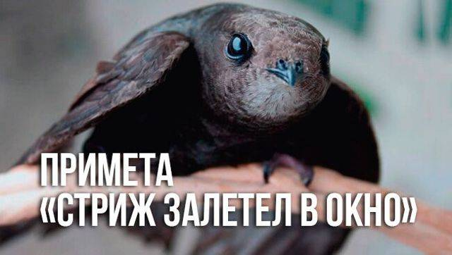 """Что значит примета """"стриж залетел в окно""""? :: syl.ru"""