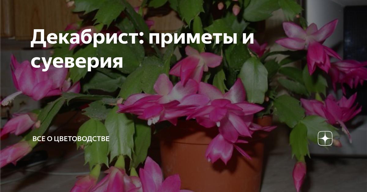 Декабрист — как содержать цветок, уход за ним в домашних условиях и приметы
