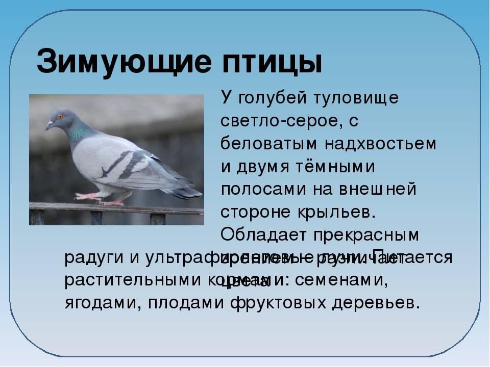 Приметы о голубе, что символизирует белый, к чему поселился рядом. приметы и суеверия про голубей