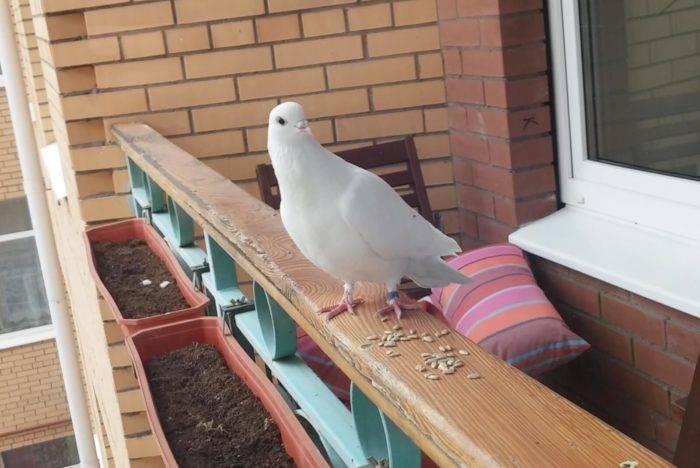 Примета: голубь залетел на балкон
