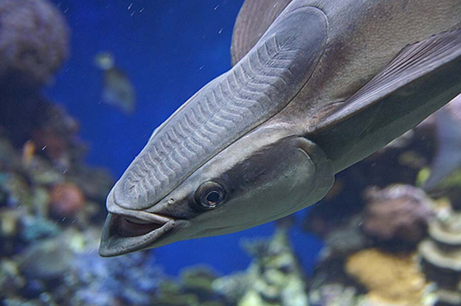 Акула и рыба-прилипала: тип взаимоотношений. как прилипает рыба-прилипала?