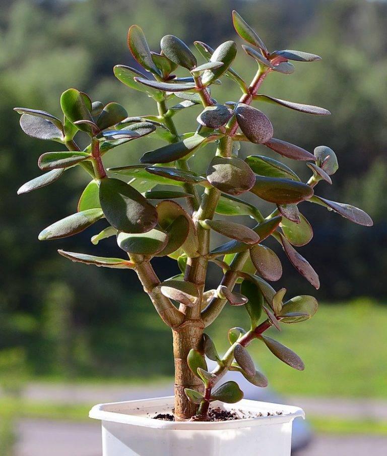 Денежное дерево: что это такое и как правильно его посадить, чтобы водились деньги?